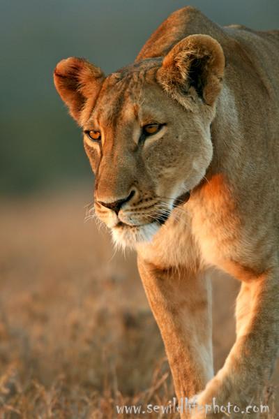 Lioness (Panthera leo), Ol Pejeta Conservancy, Laikipia District, Kenya