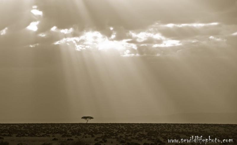 Wildebeest migration and acacia tree, Masai Mara Game Reserve, Kenya