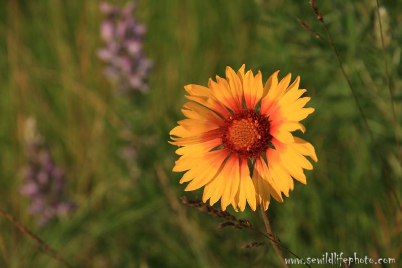 Prairie flowers, Montana