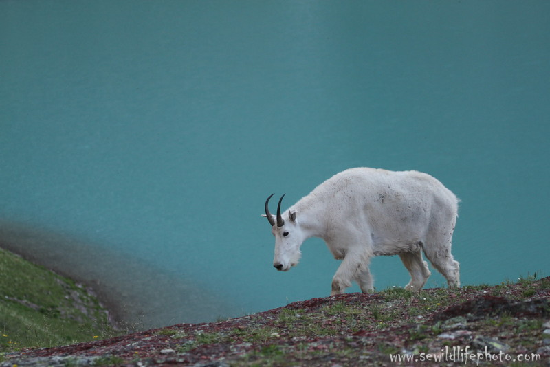 Mountain goat in front of glacial Cracker Lake, Glacier National Park, Montana