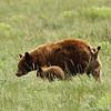 American black bear (Ursus americanus) and cubs, Glacier National Park, Montana