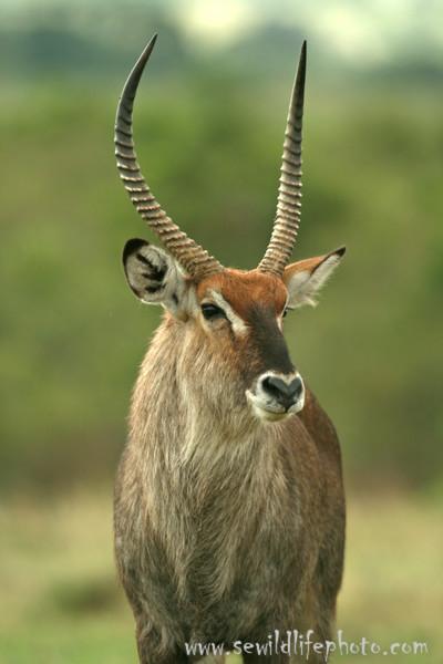 Waterbuck, Masai Mara Game Reserve, Kenya
