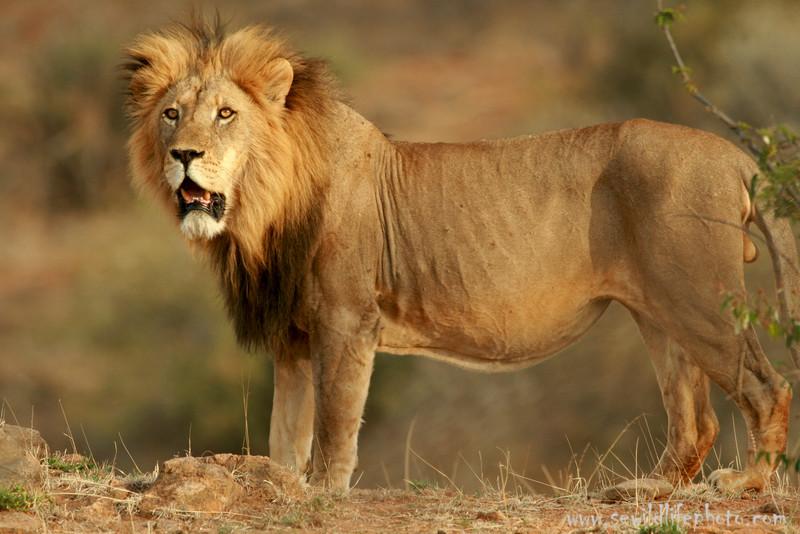 Lion, Mpala Research Center, Laikipia District, Kenya