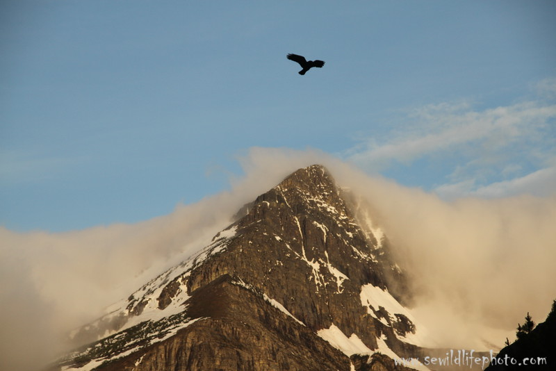 Raven flying over mountain, Glacier National Park, Montana