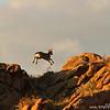 Jumping Siberian ibex kid (Capra sibirica), Ikh Nart Nature Reserve, Mongolia