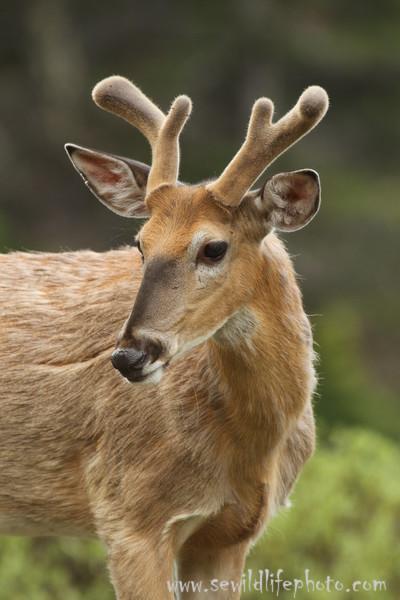 White-tailed deer in velvet, Glacier National Park, Montana
