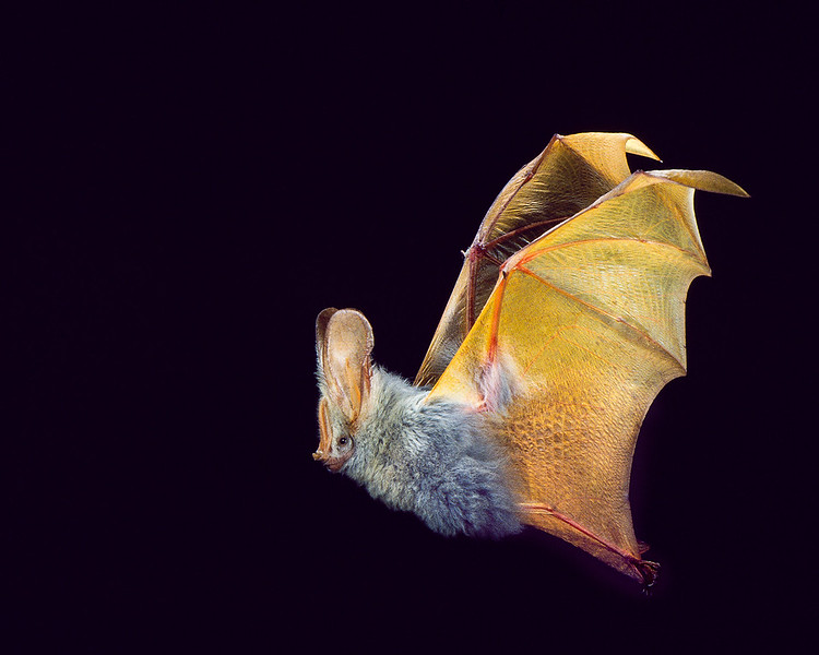 A Yellow-winged bat (Lavia frons) from Kenya. These spectacular bats roost in monogamous pairs in trees and bushes of savannah habitats in equatorial Africa. Males find the best feeding areas and reportedly lead their mates to these locations. Flight