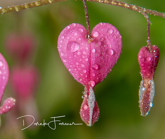Mouse Pad-Macro Bleeding Heart with water droplets