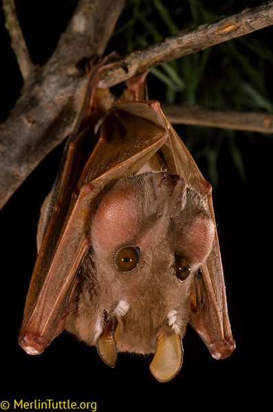 An adult male Minor epauletted fruit bat (Epomophorus labiatus minor) with its cheek pouches full of ripe figs. Such bats are major dispersers of seeds essential for reforestation.