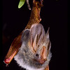 A Yellow-winged bat (Lavia frons) from Kenya.  These bats frequently roost in bushes with yellowish orange berries. Otherwise, we can only guess at why this species' wings are so brightly colored. Yellow-winged bats form apparently monogamous pairs, and males appear to help scout out the best feeding areas for their mates. They feed like flycatcher birds-waiting for large insects to pass. Portraits, Roosting