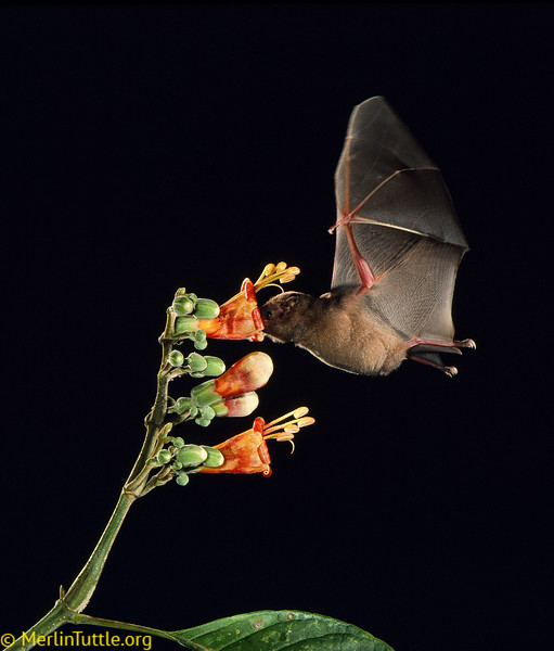 Commissarisi's long-tongued bat (Glossophaga commissarisi) pollinating Trichanthera gigantea in  Panama. This flower receives some pollination from hummingbirds as the flowers open at dusk, but is primarily pollinated at night by bats. Pollination