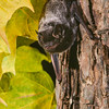Silver-haired bat (Lasionycteris noctivagans)