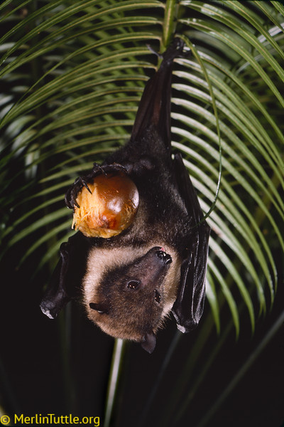A  Mariana flying fox (Pteropus mariannus) eating a cycad fruit on the Island of Guam. Flying foxes are key dispersers of tree seeds on Pacific Islands. Seed Dispersal