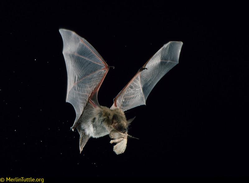 Yuma myotis (Myotis yumanensis) catching a moth in Arizona. Catchin Prey
