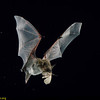 Yuma myotis (Myotis yumanensis) catching a moth in Arizona. Catchin Prey