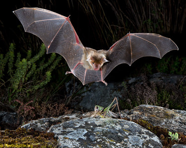The Greater mouse-eared Bat (Myotis myotis) ranges throughout most of Europe, including also the Syrian Arab Republic and Turkey. It feeds on a wide variety of arthropods, from large insects to centipedes, relying solely on its large ears to detect sounds made by prey (footsteps, wingbeats or courtship calls) and often captures prey directly from the ground or from foliage. It uses echolocation only to navigate. This one is about to land and pounce on its prey, a katydid. It will eat the insect prior to resuming its hunt. These bats hibernate in caves, mines or tunnels in winter and rear young mostly in caves or buildings in summer.