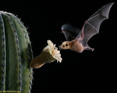Lesser long-nosed bat (Leptonycteris yerbabuenae) pollinating cardon cactus (Pachycereus pringlei) in Mexico. This is the world's largest cactus, growing up to 50 feet tall and providing food and shelter for a wide variety of wildlife. It relies heavily on bats for both pollination and seed dispersal. Pollination