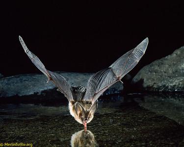 A Townsend's big-eared bat (Corynorhinus townsendii) drinking in flight in Arizona. Like most bats, they typically drink in flight. Drinking
