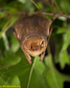 A female eastern red bat (Lasiurus borealis) roosting in tree foliage in Texas. This species ranges throughout most of eastern North America, especially in forested riparian areas. Roosting in tree foliage, it normally lives solitarily and rears 2-4 pups per year. Northernmost populations migrate south for winter, burrowing into fallen leaf litter to hibernate. These bats feed heavily on moths, including species which are major pests of agriculture. Roosting