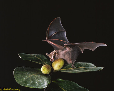 A Common tent-making bat (Uroderma bilobatum) taking a ripe fig in Costa Rica. Such bats play key roles in reforestation of cleared areas.