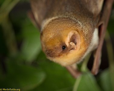 Eastern Red Bat (Lasiurus borealis)