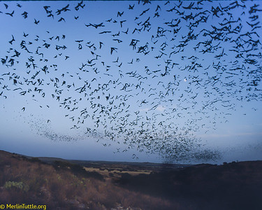 Millions of Brazilian free-tailed bats (Tadarida brasiliensis) emerging from Frio Cave in the Texas Hill Country. Their great columns can be seen for miles around. Before their dawn return, they will capture up to 100 tons of insects, mostly crop pests over agricultural areas. Emergences