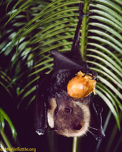 An endangered Mariana flying fox (Pteropus mariannus) eating a cycad fruit on the Island of Guam. Flying foxes are key dispersers of tree seeds on Pacific Islands. Seed Dispersal