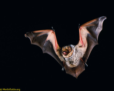 A hoary bat (Lasiurus cinereus) in Texas.  These bats are long-distance migrators, some traveling all the way from Canada to Mexico and back each fall and spring. Large numbers are now being killed needlessly by careless production of wind energy. Flight