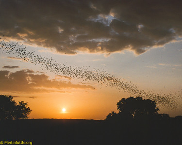 Between 10 and 20 million Brazilian free-tailed bats (Tadarida brasiliensis) emerging from Bracken Cave in Texas. They will climb thousands of feet above ground where, aided by tail winds, they can travel at up to 100 miles per hour to reach distant feeding areas. Before their dawn return, these bats will consume 100 - 200 tons of insects, mostly crop pests over agricultural areas. Emergence