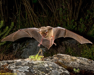 Vespertilionidae, Greater mouse-eared bat (Myotis myotis)