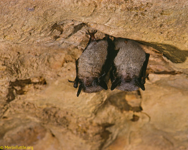 Little brown myotis (Myotis lucifugus) hibernating in an abandoned mine in Wisconsin. At such northern latitudes, they may hibernate for as much as 8 months, living off of stored fat reserves. Their fur is covered in condensed moisture droplets. When active in summer, just one of these bats can capture 1,000 mosquitoes in a single hour. Hibernation