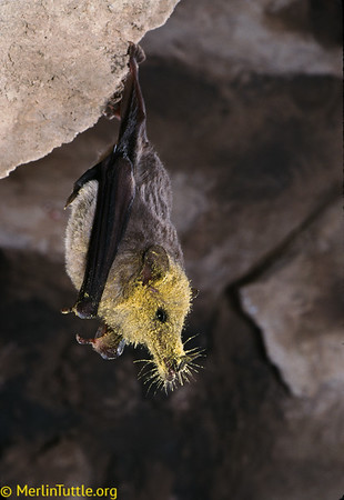 A Mexican long-tongued bat (Choeronycteris mexicana) has its face covered in agave pollen, having just returned to its roost from feeding in Arizona.  These bats are essential pollinators of many night-blooming desert plants. Pollination