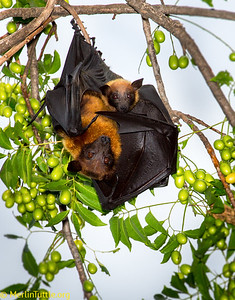 Lyle's flying foxes (Pteropus lylei) roosting in the Jantraram Temple court yard, protected by monks in Thailand.  These, and other flying foxes, are essential seed dispersers and pollinators, but are declining at alarming rates. Roosting