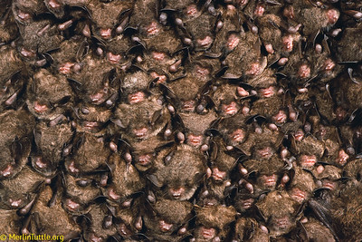 A tightly packed cluster of endangered Indiana myotis (Myotis sodalis) hibernating in a Kentucky cave. With just their faces, ears and wrists exposed, they can pack in at more than 300 per square foot. Hibernation