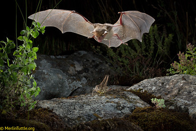 The Greater Mouse-eared Bat (Myotis myotis) ranges throughout most of Europe, including also the Syrian Arab Republic and Turkey. It feeds on a wide variety of arthropods, from large insects to centipedes, relying solely on its large ears to detect sounds made by prey (footsteps, wingbeats or courtship calls) and often captures prey directly from the ground or from foliage. It uses echolocation only to navigate. This one has detected a katydid and is about to descend for the capture. These bats hibernate in caves, mines or tunnels in winter and rear young mostly in caves or buildings in summer. Catching Prey