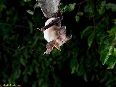 Rhinolophidae, Meley's horseshoe bat (Rhinolophus mehelyi)