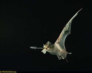 A Brazilian free-tailed bat (Tadarida brasiliensis) catching a corn earworm moth (Helicoverpa zea) in Texas.  This moth is a billion-dollar-a-year pest. Bats like this save American farmers billions of dollars annually, by reducing reliance on dangerous pesticides. Catching Prey