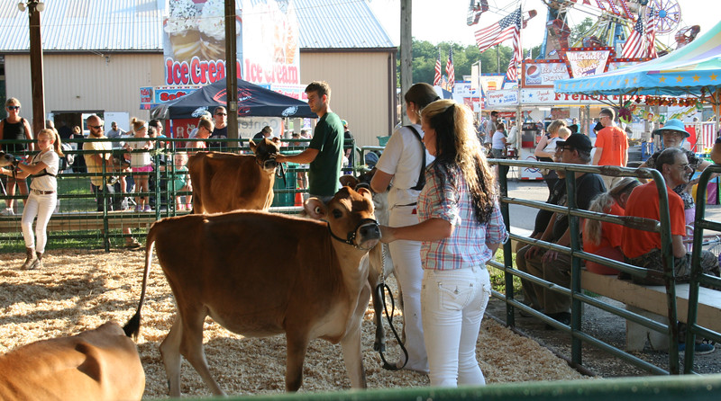 Contestants lined up their cows at the Kimberton Fair for the cattle show.