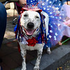 Jesi Yost — For Digital First Media<br /> Eden, a 6-year-old Australian Cattle Dog, is all dressed up in her patriotic best for the Pottstown Fourth of July Parade.