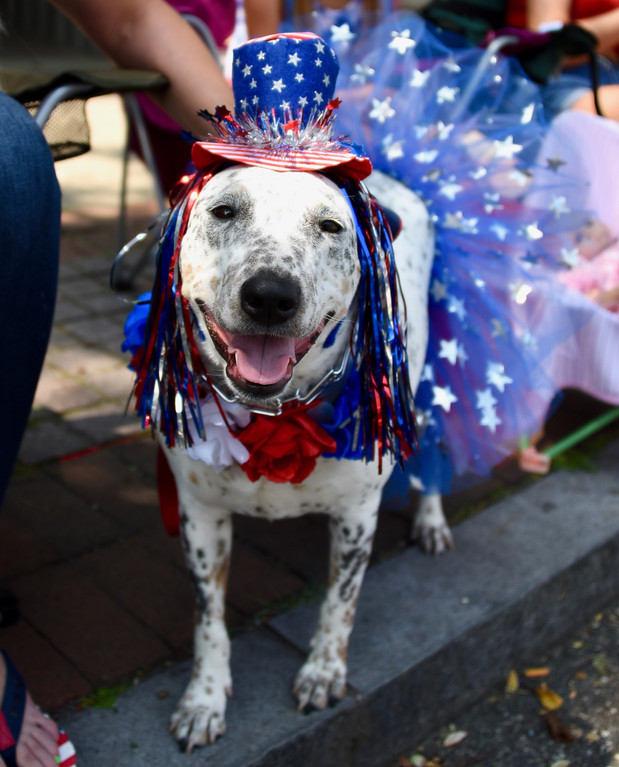 . Jesi Yost � For Digital First Media Eden, a 6-year-old Australian Cattle Dog, is all dressed up in her patriotic best for the Pottstown Fourth of July Parade.