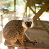 2014-11-Lemur-Zoo-High-19