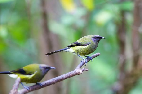 Bellbird, Tiritiri Matangi Island, Hauraki Gulf