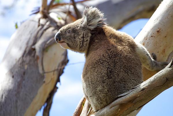 Koala in Gt Otway National Park, Victoria