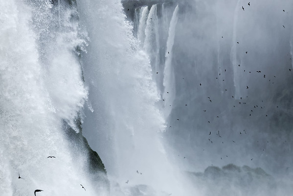 Dusky swifts and cataracts at Iguazu, Brazil. Great dusky swifts rest on cliff ledges behind the cascades