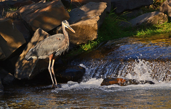 Mill Creek: Late Afternoon Herons, 9-29-16