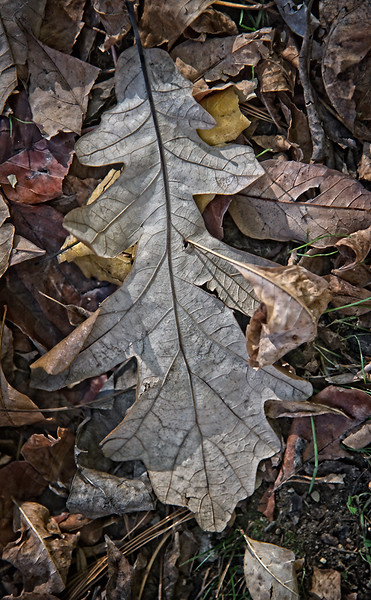 Large Silver Green Leaf on Ground