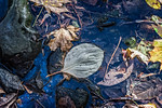 Light Green Oval Leaf, Rocks, Leaves, Creek