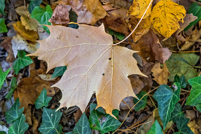 Pale Leaf, Yellow & Green Leaves
