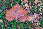 Large Red Leaf,  Brown Leaves, Grass