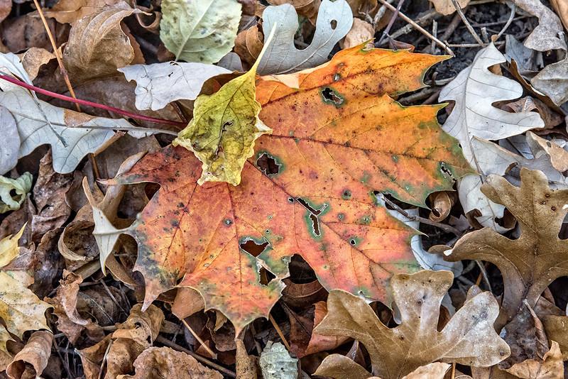 Orange Leaf with Green Trim